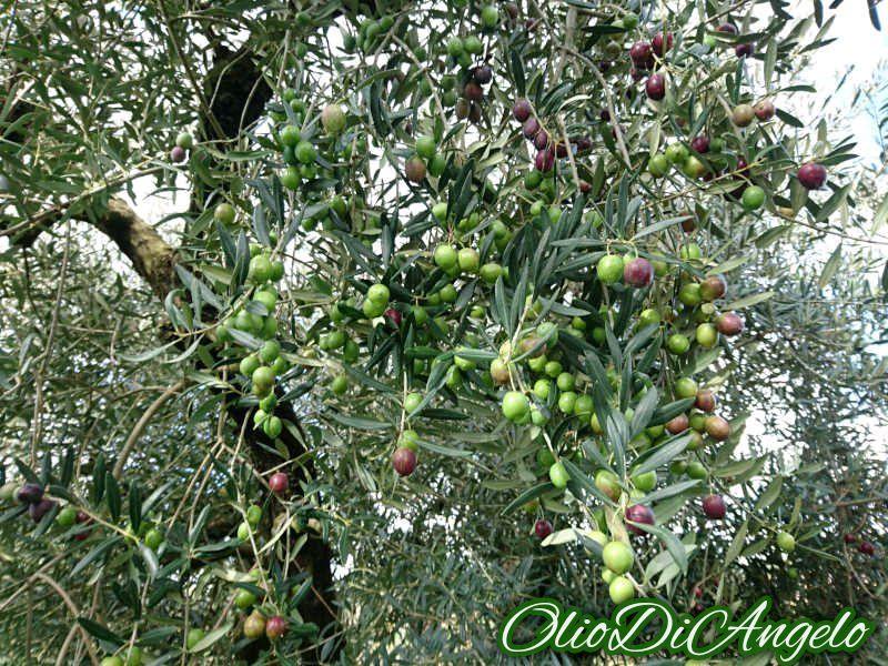 イトラナ種オリーブの木